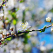White apricot flowers — Stock Photo