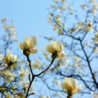 Spring Blossoms of a Magnolia — Stock Photo #1865966