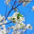 Spring cherry flowers — Stock Photo #1866084