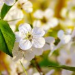 Stock Photo: Spring cherry flowers