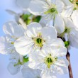 Tree branch with cherry flowers - Stock Photo