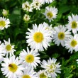 Stock Photo: White beautifuls chamomiles