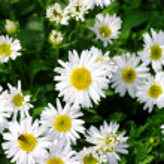 White beautifuls chamomiles — Stock Photo