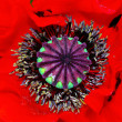 Poppy heart macro — Stock Photo