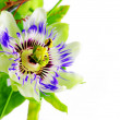 Stock Photo: Purple Passionflower