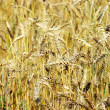 Royalty-Free Stock Photo: Golden wheat on the plant.