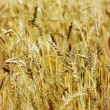 Golden wheat on the plant. — Stock Photo