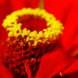 Royalty-Free Stock Photo: Red Zinnia close-up