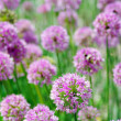 Flowers of some allium — Stock Photo