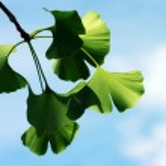 Ginkgo biloba leaf — Stock Photo