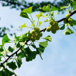 Ginkgo biloba — Stock Photo #1868228
