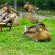 Stock Photo: Ducks