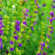 Stock Photo: Hyssop plant in garden