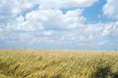 Wheaten field and the blue sky — Stock Photo