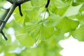Ginkgo biloba leaf. — Stock Photo