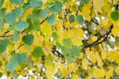 Leaves of a birch — Stock Photo