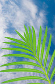 Leaves of palm on a blue sky — Stock Photo