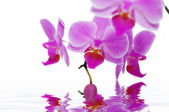 A rose orchids — Stock Photo