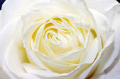 A close-up of white rose petals — Stock Photo
