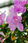 Close-Up of azalea flowers. — Stock Photo