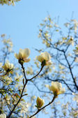 Spring Blossoms of a Magnolia — Stock Photo