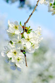 Cherry tree with white flowers — Stock Photo