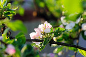 Spring apple flowers — Stock Photo