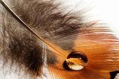 Piume di fagiano ala — Foto Stock