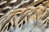 Pheasant wing plumage — Stock Photo