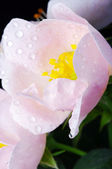 Pink flowers of a dog-rose — Stock Photo