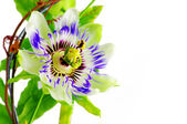 Purple Passionflower — Stock Photo