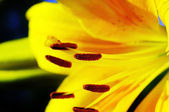 Close-up flower of lily. — Stock Photo