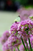 Close up of the flowers of some allium — Stock Photo