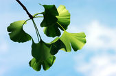 Ginkgo biloba leaf — Stock Photo