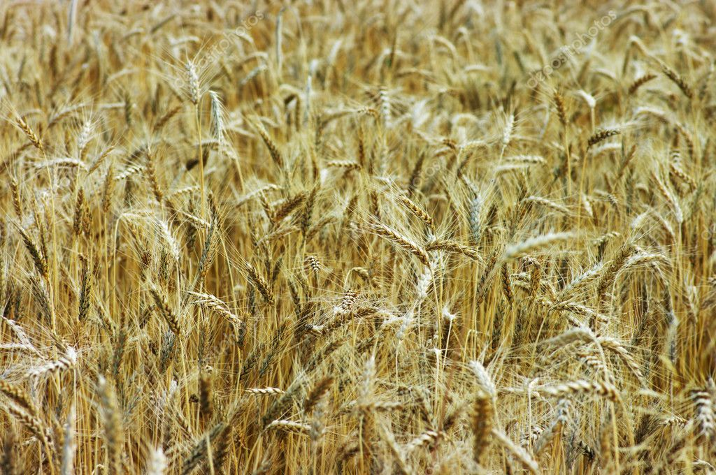Golden wheat feald. Field before harvesting. — Stock Photo #1867429