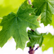 Green leaves, shallow focus — Stock Photo #1871219
