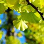 Yellow Ginkgo biloba leaf — Stock Photo