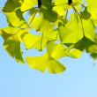 Ginkgo bilobleaf. — Stock Photo #1871943