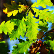 Leaves of oak on natural background — Stock Photo