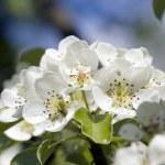 Closeup of apple blossoms. Springtime. — Stok fotoğraf #1872906