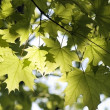 Green leaves, shallow focus — Stock Photo #1873743