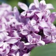 Lilac blossoms. — Stock Photo