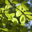 Green leaves, shallow focus — Stock Photo #1873899