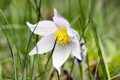 Spring flowers of Pulsatilla — Stock Photo
