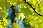 Yellow Ginkgo biloba leaf — Stock Photo