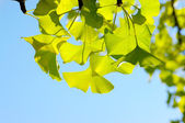Ginkgo biloba leaf. — Stock Photo