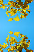 Yellow Ginkgo biloba — Stock Photo