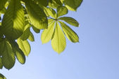 Leaves of a chestnut and blue sky — Stock Photo