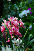 Vibrant pink tropical orchid flower — Stock Photo