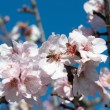 Stock Photo: Bee in Almond Tree Flower